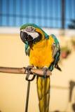 Geelgroene papegaai Stock Foto's
