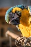 Geelgroene papegaai Royalty-vrije Stock Fotografie