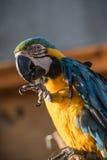 Geelgroene papegaai Royalty-vrije Stock Foto