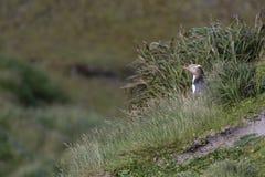 Geeloogpinguin Guling-synad pingvin, Megadyptes antipoder arkivfoto