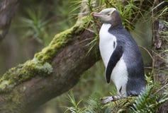 Geeloogpinguin, pingüino Amarillo-observado, contrarios de Megadyptes foto de archivo libre de regalías