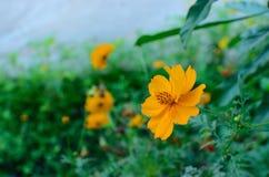 Geeloranje bloem Royalty-vrije Stock Fotografie