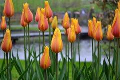 Geeloranje bloemen in de regen stock afbeeldingen