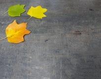 Geeloranje en groene gevallen de boombladeren van de de herfstesdoorn op grung Royalty-vrije Stock Afbeelding