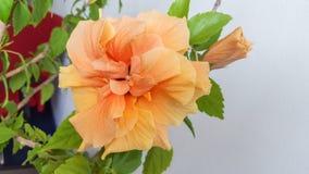 Geeloranje Japans nam, Rosa rugosa, hibiscus rosa-sinensis toe Stock Fotografie