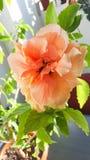 Geeloranje Japans nam, Rosa rugosa, hibiscus rosa-sinensis toe Stock Foto