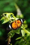 Geeloranje kleurrijke vlinder die op een groen blad rusten die zijn vleugels drogen Stock Afbeeldingen