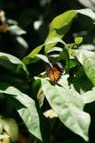 Geeloranje kleurrijke vlinder die op een groene blad drogende vleugels rusten Stock Afbeelding