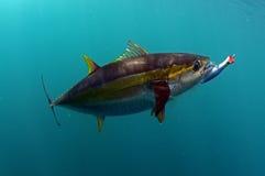 Geelvintonijnvissen met een lokmiddel in zijn mond Royalty-vrije Stock Afbeelding