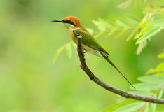Green Bee-eater (Merops orientalis) Royalty Free Stock Photo