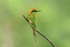 Green Bee-eater (Merops orientalis) Stock Photo