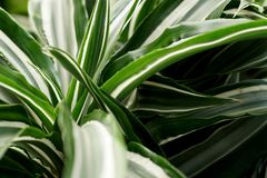 Pointy leaf plant. A geen enviorment with a pointy leaf plant-Agave plant royalty free stock images