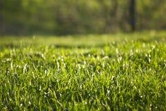 Geen gräs Arkivbild