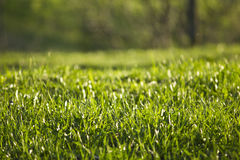 Geen grass. The field of green grass and a park as the background Stock Photography