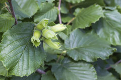 Geen hazelnut growing on the tree Stock Photos