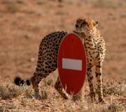 Geen ingangsJachtluipaard Stock Fotografie