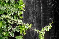 Geen Ivy Climbing a Timber Wood Fence Stock Image