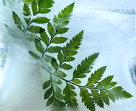 Background of ferns leaf frozen in ice Royalty Free Stock Photo