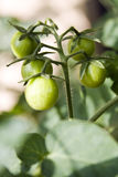 Geen tomatoes on a vine Stock Photography