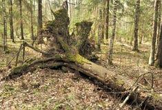 Geentwurzelte Bäume. lizenzfreie stockbilder
