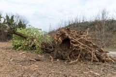 Geentwurzelter Baum lizenzfreies stockbild