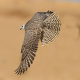 Geer Falcon. Arabic Geer Falcon get ready to attack Royalty Free Stock Images