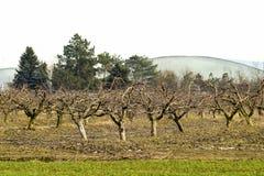 Geerntete Bäume im Apfelgarten stockbild