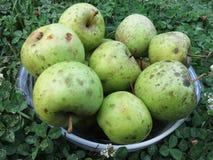 Geerntete grüne Äpfel im Sommer stockfotos