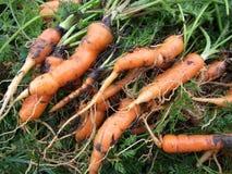 Geerntete Karotten Lizenzfreie Stockfotografie
