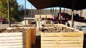 Geerntete Kartoffeln, die in den großen hölzernen Behältern, Kästen, gefüllt, um zu übersteigen stehen Kartoffeln, die warten, um stock video footage