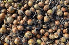 Geerntete Zwiebeln, diese trocknen jetzt, hier bevor sie vom Land aufgehoben werden stockfotografie