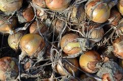 Geerntete Zwiebeln, diese trocknen jetzt, hier bevor sie vom Land aufgehoben werden stockbild