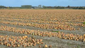 Geerntete Zwiebeln, diese trocknen jetzt, hier bevor sie vom Land aufgehoben werden stockfoto