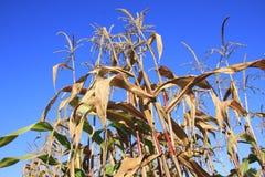Geernteter Mais-Stiel lizenzfreie stockfotografie