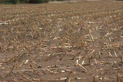 Geernteter Maisfeld Zea Mai, die den extrem trockenen Boden infolge der Dürre von 2018 zeigen stockfotografie