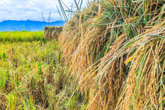 Geernteter Reis Stockfotos
