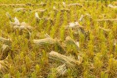 Geernteter Reis auf dem Reisgebiet Stockfotos