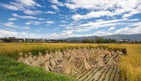Geernteter Reis auf einer Forderung teils durchgesetzt mit ungeschnittenem Reis der hellen Farbe Stockbilder