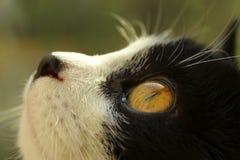 Geernteter Schuss einer schwarzen Katze Katze, die oben schaut Stockbild