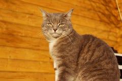Geernteter Schuss von Cat Sitting Over Wooden Background Katze der getigerten Katze drau?en lizenzfreies stockbild