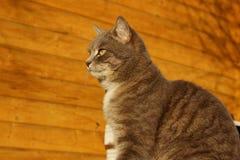 Geernteter Schuss von Cat Sitting Over Wooden Background Katze der getigerten Katze drau?en lizenzfreie stockbilder