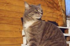 Geernteter Schuss von Cat Sitting Over Wooden Background Katze der getigerten Katze drau?en lizenzfreies stockfoto