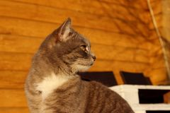 Geernteter Schuss von Cat Sitting Over Wooden Background Katze der getigerten Katze drau?en stockfotos