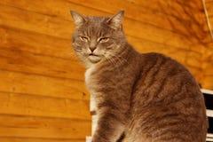 Geernteter Schuss von Cat Sitting Over Wooden Background Katze der getigerten Katze drau?en stockbilder