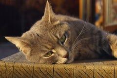 Geernteter Schuss von Tabby Cat Cat Lying Outdoors, Abschluss oben stockfotos