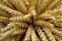Geernteter Weizen Stockfoto