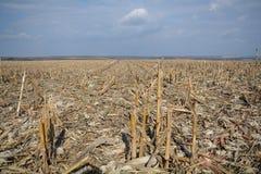 Geerntetes Mais-Getreide Lizenzfreie Stockbilder