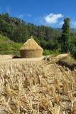 Geerntetes Reisfeld und Stapel Reis trocknend in der Sonne, numerisch, Nepal stockbild