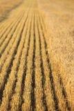 Geerntetes Weizen-Feld Stockfoto