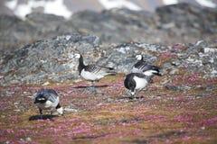 Gees do Barnacle na tundra ártica Foto de Stock Royalty Free